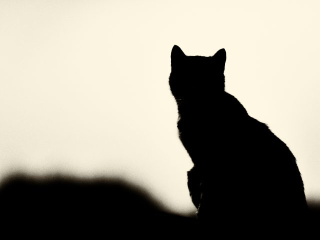 siluette gatto